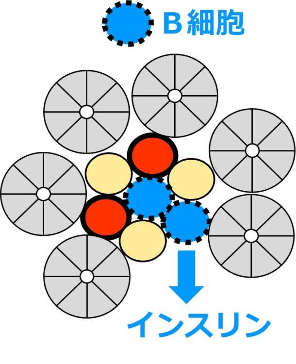 B細胞からのインスリン分泌