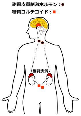 副腎皮質からの糖質コルチコイド分泌