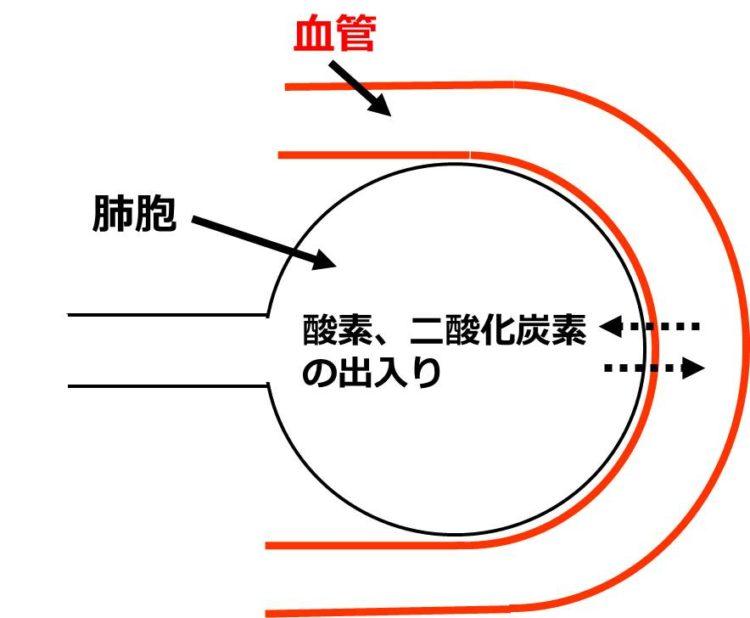 1個の肺胞と血液との間で、酸素と二酸化炭素がやり取りされている矢印を描いた図