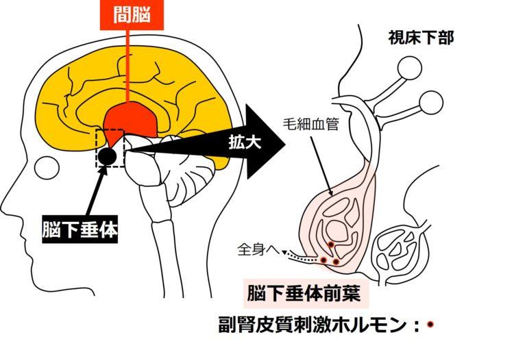 脳下垂体前葉からの副腎皮質刺激ホルモン分泌