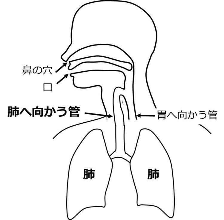 ノドの奥は、肺へ向かう管と、胃へ向かう管に分かれることを描いた図