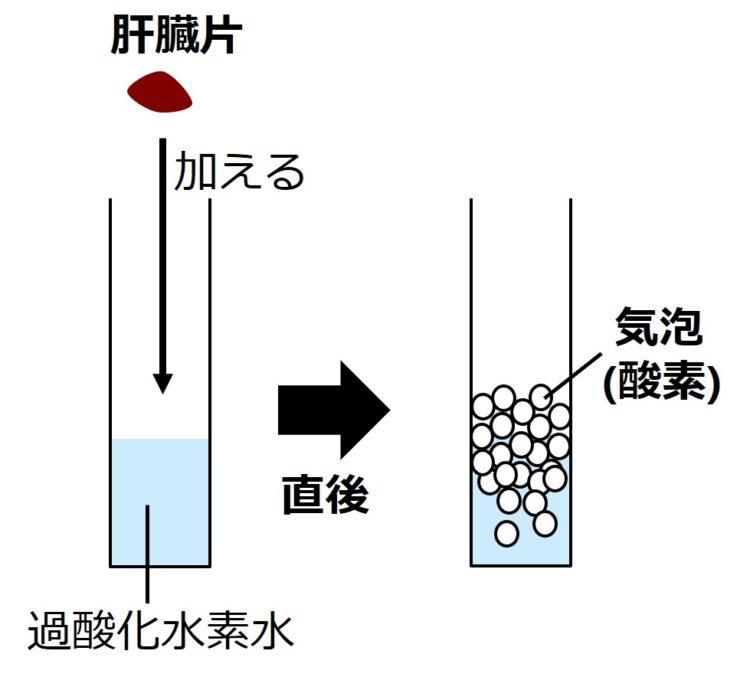 過酸化水素水に茶色の肝臓片を入れる図。直後に、発生する大量の酸素の気泡を、大量の円で描いた図。