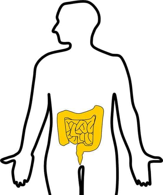 ヒトの輪郭を描いた図の中に、大腸と小腸の図が描かれている