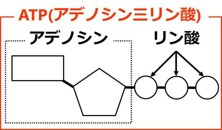 アデノシンが、1つの長方形の右下の角の先と、1つの五角形の左上の角の先が結合している図として描かれている。さらに、五角形の右上の角の先に、3個の3つの円が、くし団子のようにならんでつながっている。これら全体をATPという。