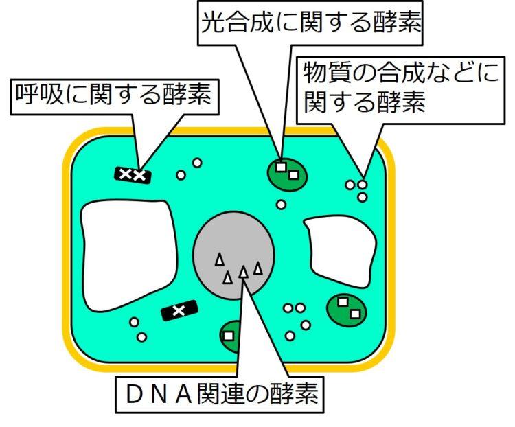 核内には、DNA関連の酵素が三角形で、ミトコンドリア内には細胞呼吸(呼吸)に関する酵素がバツで、葉緑体内には光合成に関する酵素が四角で、細胞質基質には、物質合成などに関わる酵素が丸で描かれている。