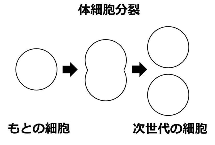 体細胞分裂によって1つの細胞が2つに分かれることを描いた図
