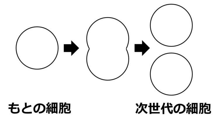 分裂によって1つの細胞が2つに分かれることを描いた図