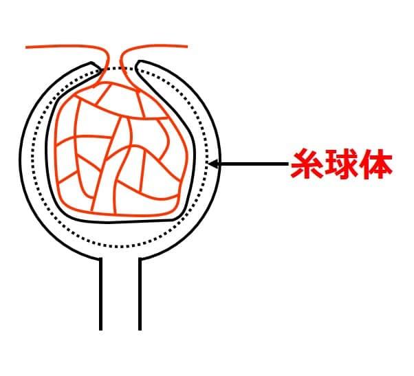 腎小体の内部に糸球体という、毛細血管のかたまりがある。