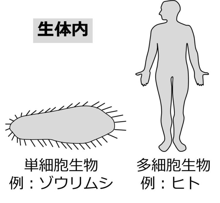 単細胞生物の例としてゾウリムシ、多細胞生物の例としてヒトの簡易図が描かれている。どちらも、全体が灰色にぬられており、ぬられた部分が生体内である。