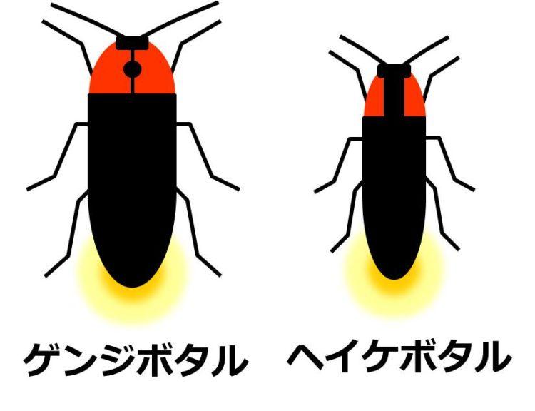 ゲンジボタルとヘイケボタルのおしりが光っている模式図。