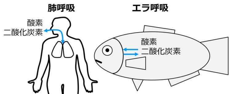 空気とヒトの肺との間、および、水と魚のエラとの間で、酸素と二酸化炭素が交換されることを矢印で示した図。