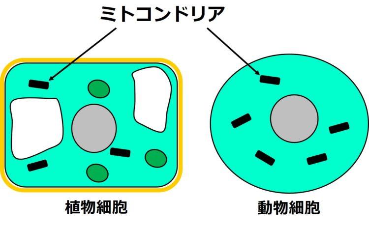 植物細胞と動物細胞内に描かれ黒く短い棒状の構造を指して、ミトコンドリアとある。