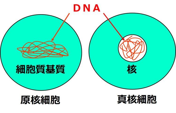 先ほどと同じ図で、糸状の構造の名称が染色体でなく、DNAと表記されている。