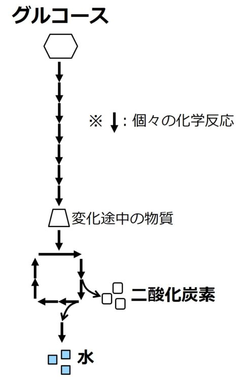 以下の内容を、個々の化学反応を矢印で描いた流れ図で示した。グルコースが7つの化学反応を経て、別の物質に変化する。生じた別の物質は、さらに3つの化学反応を経て二酸化炭素を生じ、さらに2つの化学反応を経て水を生じている。