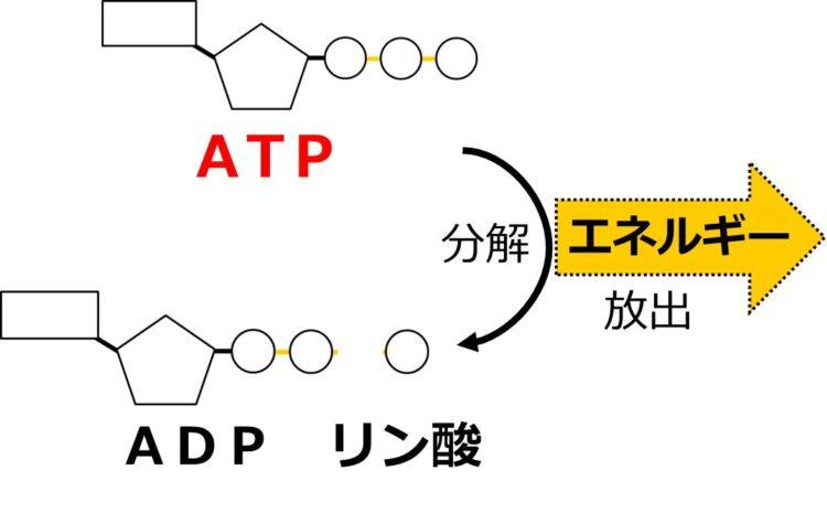 リボースから最も遠いリン酸が切り離されることを、矢印を使った流れ図で描いてある。放出されるエネルギーを、太い黄色の外向き矢印で描いている。