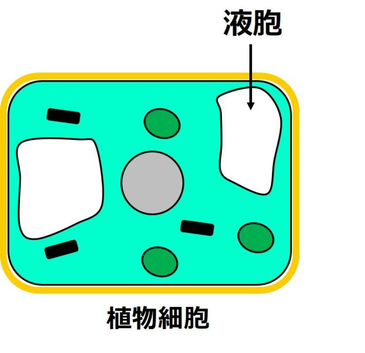 植物細胞の内部に、白く、閉じた袋状の構造が描かれている。