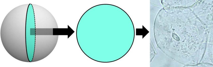 細胞を切らなくても、細胞の断面と同様の様子を見ることができることを描いた図。