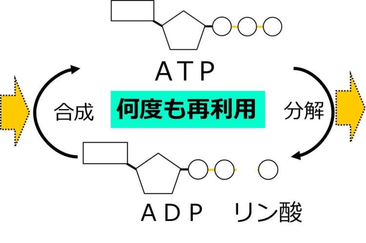 ATPがADPとリン酸に分解することを、上から下への矢印、ADPとリン酸からATPが合成されることを、下から上への矢印で描いてある。矢印にかさなるように、何度も再利用と書いてある。