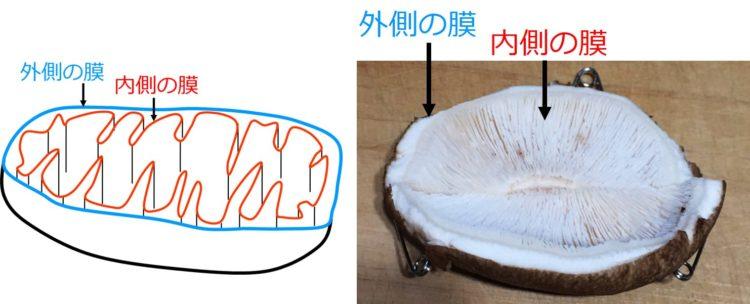 かさを、柄(シイタケの棒の部分)を含んだ1つの長方形と、2つ半円形に切り分ける。半円形同士を、切り口を付けるようにつなぐと、手こぎボートのような形になる。ボートの外回りは、シイタケのかさの茶色の部分で、ボートの内部は、ヒダの部分になっている。この形を、ミトコンドリアの内部構造の模型とする。
