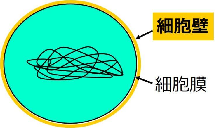球形の細胞の、細胞膜の周りに、細胞膜より厚い構造物が覆っている図。