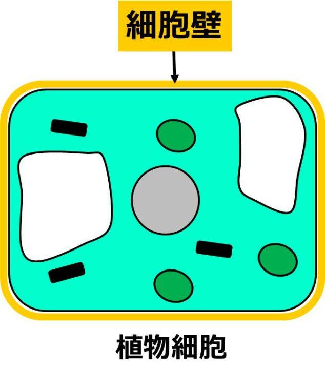 細胞膜のまわりを囲う、厚い構造が描かれている。