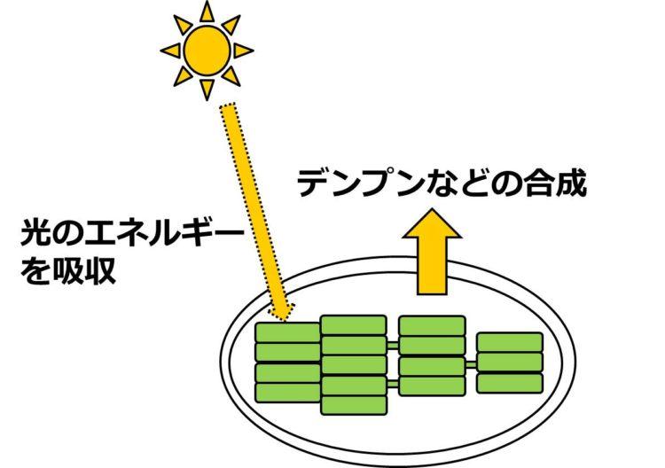 太陽の光のエネルギーを、コイン型の構造物にあるクロロフィルが吸収し、次にデンプンなどが生じることを、絵と矢印で描いてある。
