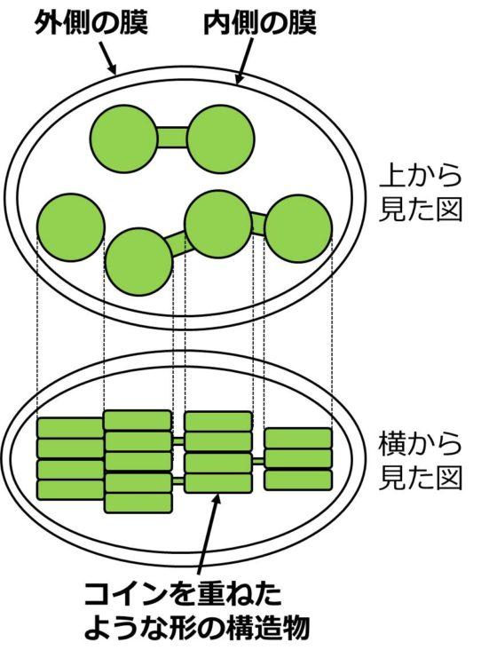 下側には、2枚の膜に囲まれた内側に、コインを数枚重ねた、コインの柱のような構造を横から見た図が描かれている。4本描かれている。これを、葉緑体を横から見た図とする。上側には、これらの柱を上からみた図が描かれている。上から見ると、コインの柱は、最も上のコインだけが見えるので、それぞれ円形に見える。また、1枚1枚のコイン型の構造物は、緑色で描かれている。