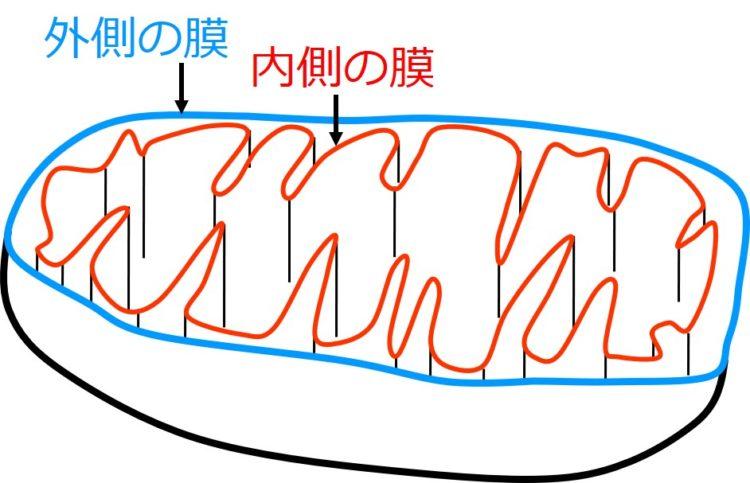 先の図の肉食動物の例えなら、口のまわり(くちびる)が外側の膜に相当し、歯の部分が内側の膜に相当する。外側の膜を青、内側の膜を赤で描いている。