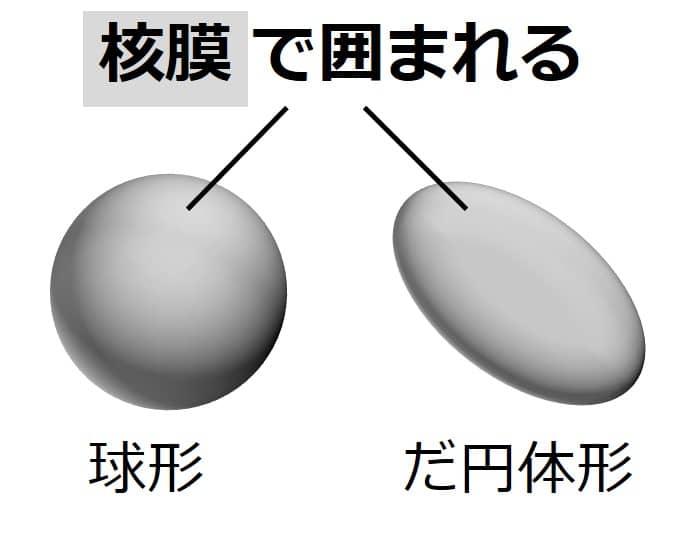球形、だ円体形の核を立体的に描いた図。核膜で囲まれると説明。