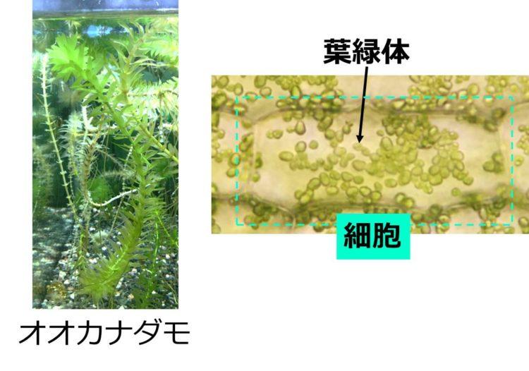 オオカナダモの写真の右に、その細胞1つの写真がある。細胞内には多数の緑色の小石のようなツブがあり、これがミトコンドリアである。