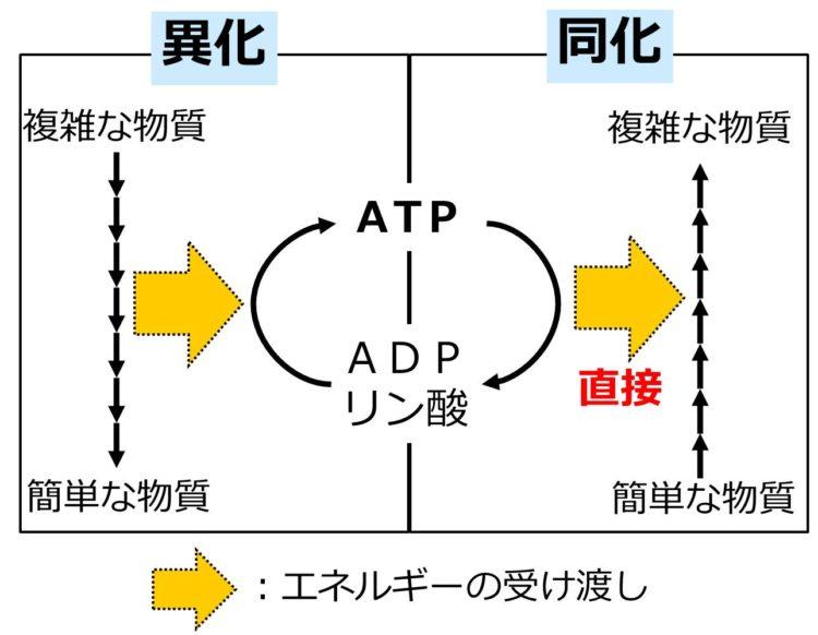 左側に異化の過程、右側に同化の過程が描かれている。中央にATPの合成と分解の過程が描かれている。左側から中央のATPの合成へ向かうエネルギーの矢印が描いてあり、中央のATPの分解から右側の同化へと向かうエネルギーの矢印が描かれ、矢印の下に直接と書いてある。