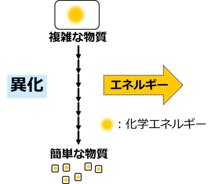 大きな長方形の複雑な物質が、多数の化学反応を経て、小さな正方形の簡単な物質に分解されることを、多数の矢印を使った流れ図で描いてある。複雑な物質の大きな長方形内には、化学エネルギーを示す大きな黄色い丸が描かれ、簡単な物質の小さな正方形内には、小さな黄色の丸が描かれている。エネルギーが取り出されることを、外向きの大きな黄色い矢印で描いてある。