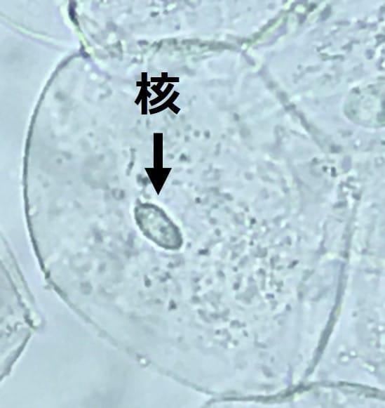 球状の細胞の中央に、だ円体形の核が見える。色は無色で、図形のだ円のような、りんかくが見える。