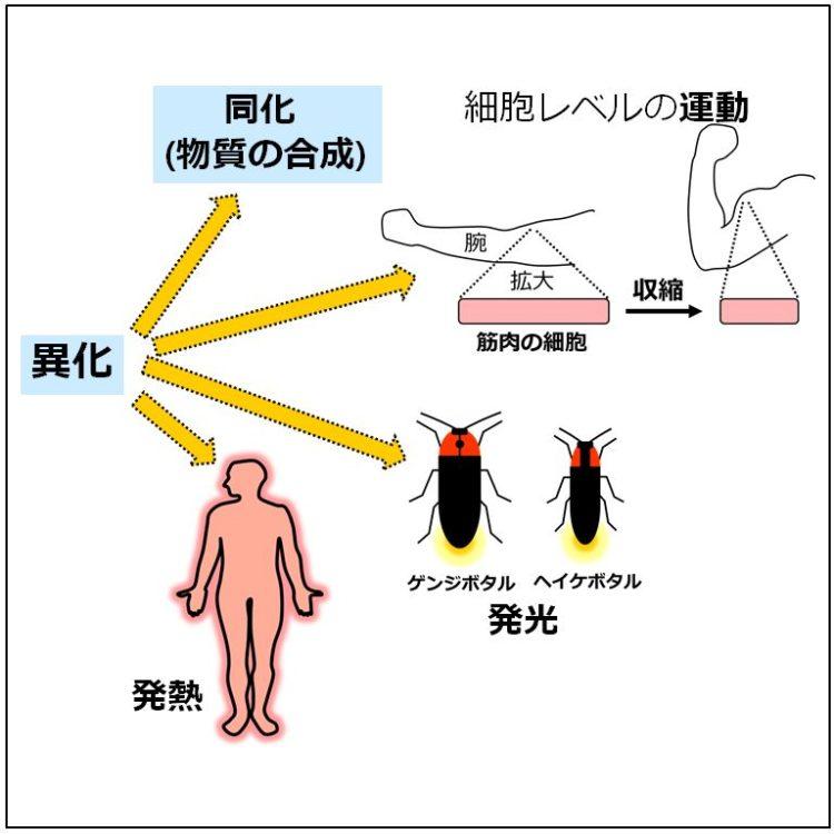 異化で生じたエネルギーを、物質合成、筋肉の収縮、ホタルの発光、ヒトの発熱などに利用している図
