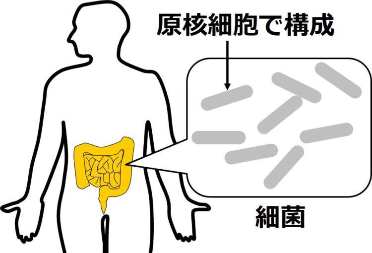 腸内の、細長い細菌の図が描かれ、原核細胞で構成と説明。