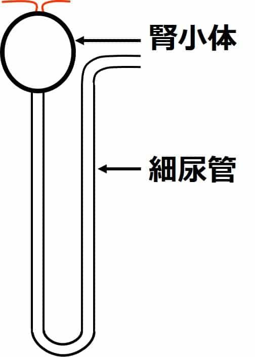 1個のネフロンが描かれている。球状部が腎小体で、そこから伸びる管が細尿管。