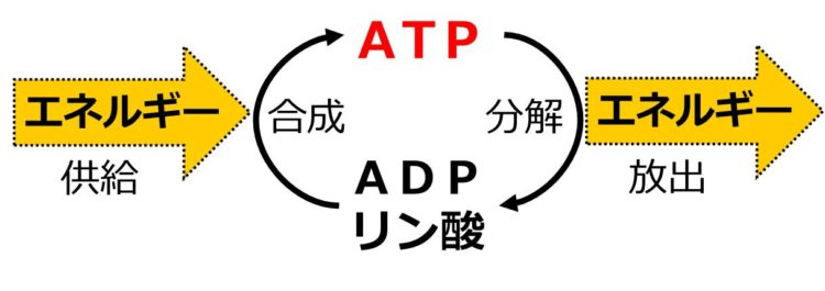 図の左側に右向き矢印でエネルギー供給と示され、その先に、ADPとリン酸からATPが合成されることを、下から上への矢印で描いてある。さらに、ATPがADPとリン酸に分解されることを上から下への矢印で示し、そこからエネルギーが放出されることを、右向きの矢印で描いてある。
