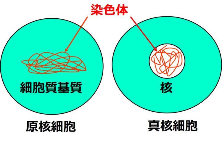 原核細胞の細胞質基質内と、真核細胞の核内に糸状の染色体が描かれている。