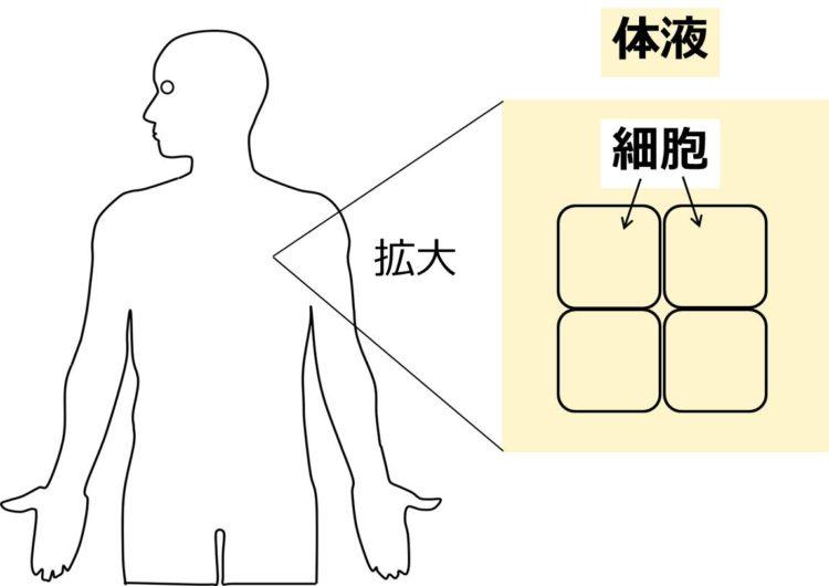 ヒトの体の4つの細胞が、体液に囲まれている様子を描いた図