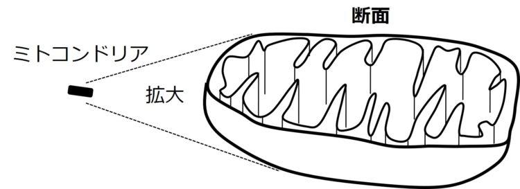 1つのミトコンドリアを拡大し、横方向へ半分に切った断面図。断面は、肉食動物が口を開けた時に、上下の歯が見えているような、突き出した構造になっている。