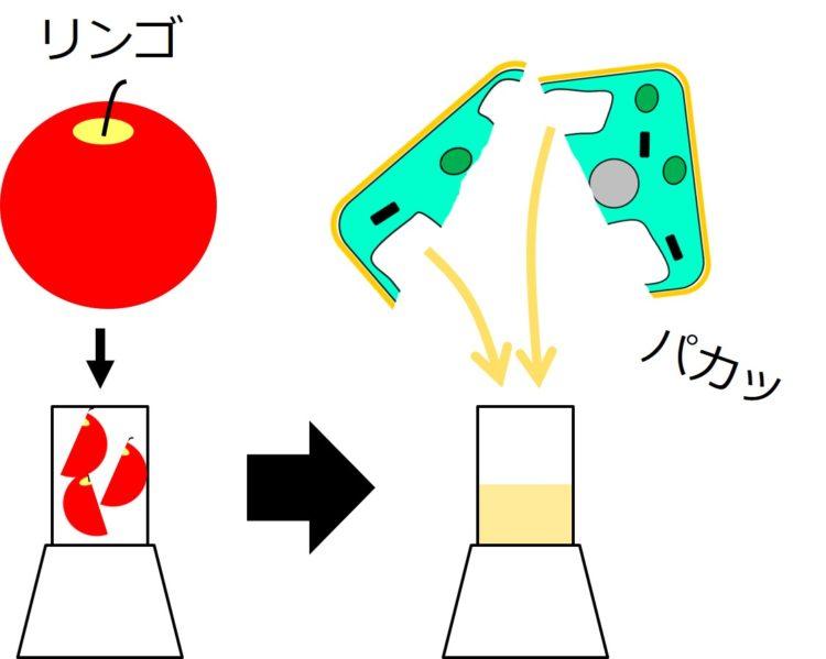 リンゴをジューサーに入れて粉砕してジュースが出来るまでの流れ図。ジュースの図の上には、細胞が2つに割れて、液胞から液体がこぼれ出る図が描いてある。