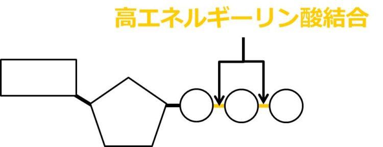 3つのリン酸のうち、リボースから最も遠いリン酸を1番目とする。1番目と2番目、2番目と3番目のリン酸の結合を、高エネルギーリン酸結合という。