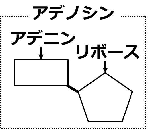 アデノシン内の、長方形の部分をアデニン、五角形の部分をリボースという。