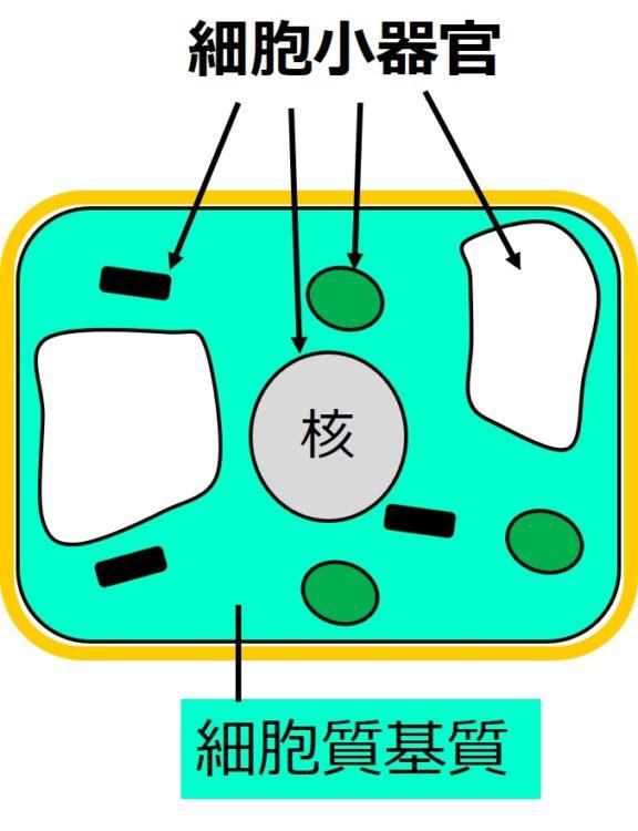 平面図で描かれた四角い植物細胞の内部に、細胞小器官が描かれている。核の他、緑色をしただ円形のもの、黒く短い棒状のもの、白く大きな閉じた袋状のものが描かれている。