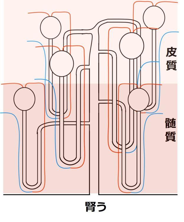 のちに解説する、ネフロンという構造物が6つ描かれている。