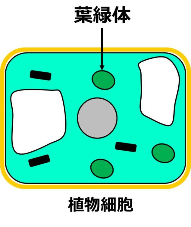 植物細胞内にレモン型の緑色の葉緑体が描かれている