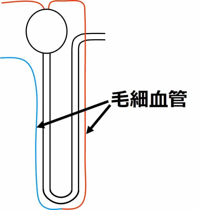 ネフロンの細尿管に沿うように、毛細血管が通っている。