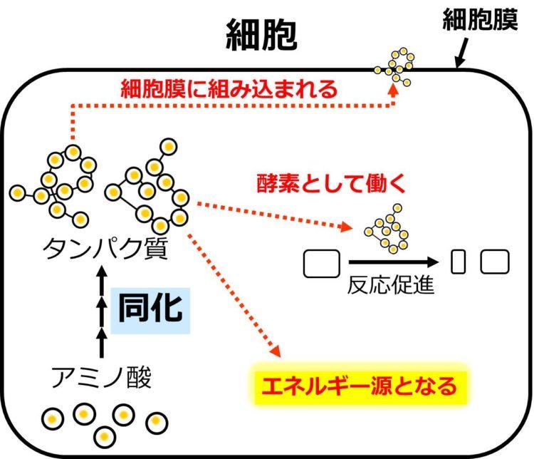 1つの細胞の内部での働きを描いた図。同化によって、アミノ酸から2種類のタンパク質が合成されている。1種類は、細胞膜に組み込まれて、もう1種類は、酵素として働いたり、エネルギー源となることを、矢印を使った流れ図で描いていある。