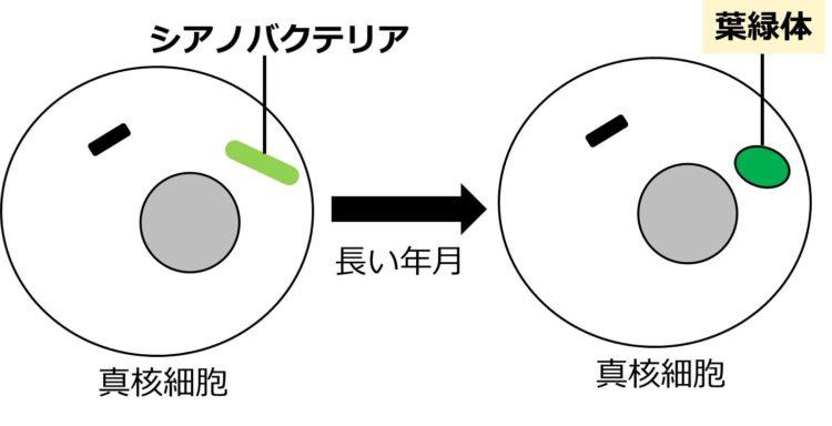 緑の棒状に描かれた共生したシアノバクテリアが、長い年月を経て、緑の楕円形で描かれた葉緑体に変化する様子を描いた図。