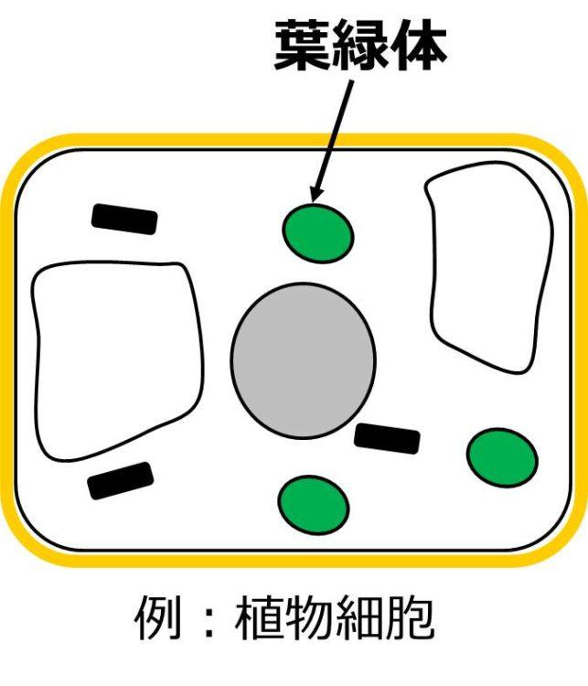 長方形で描かれた植物細胞内に、緑色で楕円形の葉緑体が描いてある。